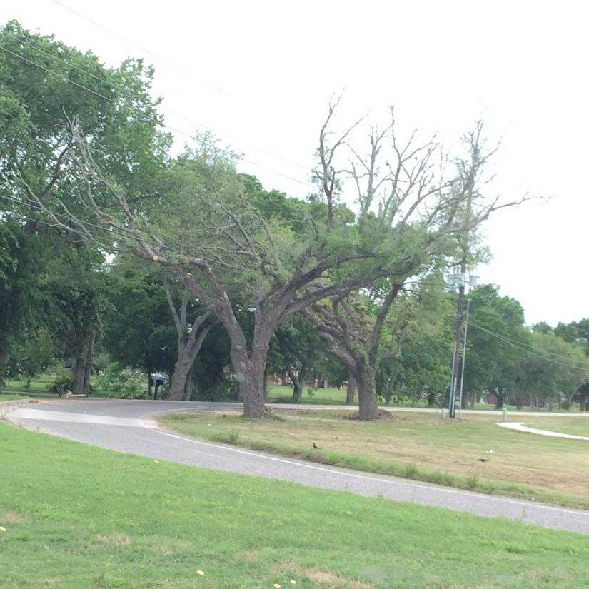 starbuck shaped tree